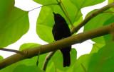 Black Antshrike  0616-1j  Darien