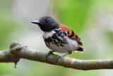 Spotted Antbird  0616-5j  Quebera Felix, Darien
