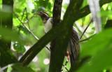 Pheasant Cuckoo  0616-1j  Gamboa