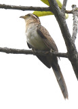 Striped Cuckoo  0616-3j  Anton