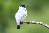 Black-crowned Tityra  0616-2j  Canopy Camp, Darien