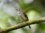 Scale-crested Pygmy-Tyrant  0616-1j  Anton