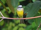 Tropical Kingbird  0616-1j  Gamboa