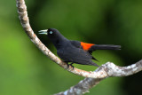 Scarlet-rumped Cacique  0616-1j  Canopy Tower