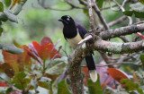 Black-chested Jay  0616-1j  Anton