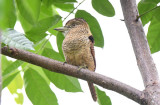 Barred Puffbird  0616-2j  Canopy Camp