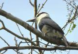 White-necked Puffbird  0616-1j  El Salto, Darien