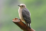 Huffman's Woodpecker  0616-1j  Anton