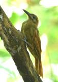 Plain-brown Woodcreeper  0616-2j  Parque Metropolitano