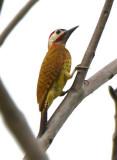 Spot-breasted Woodpecker  0616-1j  Remitas, Darien