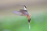 Long-billed Hermit Hummingbird  0616-2j  Gamboa