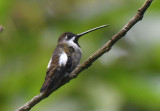 Long-billed Starthroat Hummingbird  0616-1j  Anton