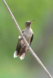 Scaly-breasted Hummingbird  0616-1j  Darien
