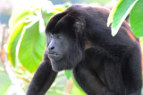 Mantled Howler Monkey  0616-5j  Canopy Tower
