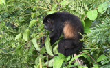 Mantled Howler Monkey  0616-2j  Canopy Tower