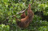 Two-toed Sloth  0616-1j  Canopy Tower