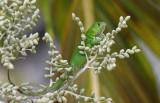 Green Basilisk  0616-1j  Gamboa