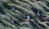 Atlantic Puffins  0717-18j  Witless Bay, NL