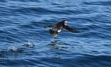Atlantic Puffin  0717-20j  Bird Islands, NS