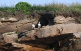 Atlantic Puffins  0717-23j  Bird Islands, NS