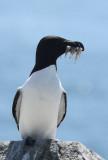 Razorbill  0717-4j  Machias Seal Island, NB