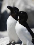 Razorbills  0717-7j  Machias Seal Island, NB