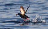 Black Guillemot  0717-2j  Bird Islands, NS