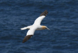 Northern Gannet  0717-6j  Cape St. Mary, NL