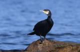 Great Cormorant  0717-2j  Bird Islands, NS