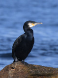 Great Cormorant  0717-1j  Bird Islands, NS