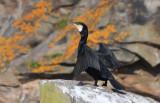Great Cormorant  0717-3j  Bird Islands, NS