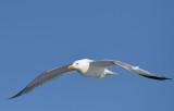 Herring Gull   0717-1j  Bay of Fundy, NB