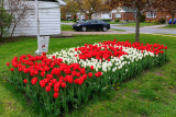 1000 tulips planted in pattern of a Canadian flag at St. Joseph Catholic School