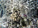 104 - Snorkeling ile Rodrigues janvier 2017 - GOPR5959 DxO Pbase.jpg