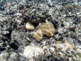 123 - Snorkeling ile Rodrigues janvier 2017 - GOPR5978 DxO Pbase.jpg