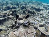 87 - Snorkeling ile Rodrigues janvier 2017 - GOPR5945 DxO Pbase.jpg