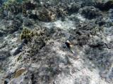 208 - Snorkeling ile Rodrigues janvier 2017 - GOPR6045 DxO Pbase.jpg