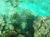 486 - Snorkeling ile Rodrigues janvier 2017 - GOPR6321 DxO Pbase.jpg