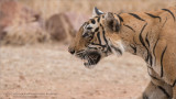 The Intensity of the Tiger Hunt