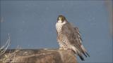 Female Peregrine falcon