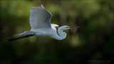 Great White Egret in Flight - Florida