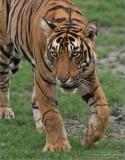 Royal Bengal Tiger - June 2017 Tour : Join me?