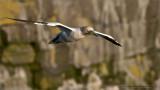 Northern Gannet Nesting
