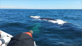 Newfoundland Humpback beside our Boat