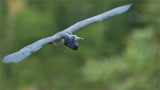 Tricolored heron in Flight - Florida