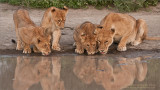 Lion Family Drinking