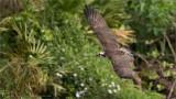 Osprey in Flight - Florida