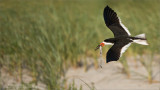 Black Skimmer in Flight with Dinner
