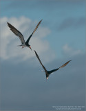 Black Skimmers Battle in the Sky