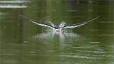 Black Skimmer in Flight skimming